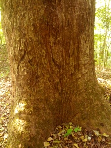 Tiger marks its territory boundaries by scratching against trees. I kept hearing this a lot 'They are their own enemy'.